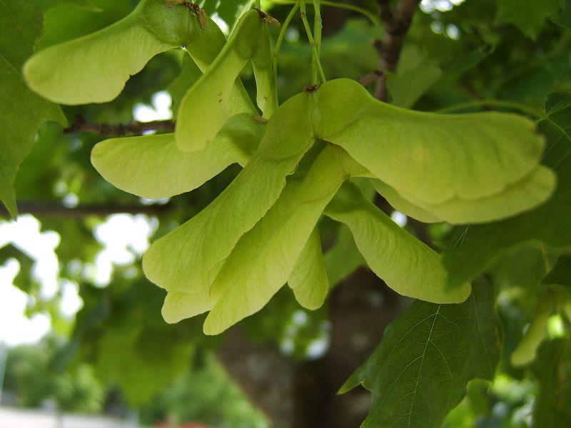 maple leaf seeds